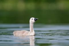Höckerschwan -- Höckerschwan Dunenküken ca. 3 Wochen alt