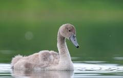 Höckerschwan -- Höckerschwan Dunenküken ca. 8 Wochen alt
