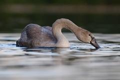 Höckerschwan -- Jungschwan 4 Monate alt