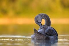 Höckerschwan -- Jungschwan ca. 3 1/2 Monate alt