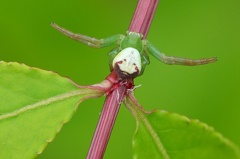Grüne Krabbenspinne -- Gruene Krabbenspinne (Diaea dorsata) Seit einiger Zeit besiedelt die gruene Krabbenspinne unseren Garten. Die Spinne ist leider sehr klein, so ist es schwierig ihr mit dem Fotoapparat aufzulauern.