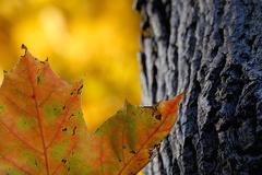 Herbstfaerbung -- Spitzahorn (Acer platanoides)