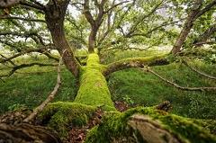 2010 09 05 WBO 4334 1000 -- Gefallener Mann Eiche (Quercus) Nach einem Sturm gefallene Eiche die aber weiterhin austreibt