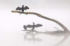Kormorane im Nebel -- Kormorane im Morgennebel
