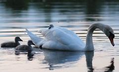 Höckerschwan -- Auf Mamas Rücken ist es am sichersten