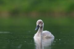 Höckerschwan -- Höckerschwan Dunenküken ca. 6 Wochen alt