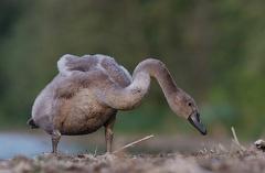 Höckerschwan -- Jungschwan ca. 2 1/2 Monate alt