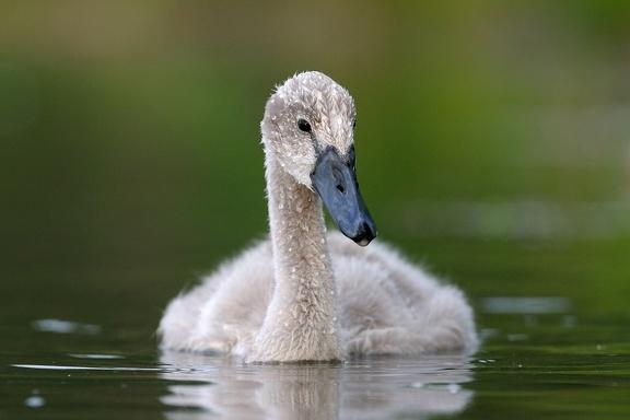 Höckerschwan Dunenküken ca. 6 Wochen alt