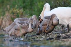 Höckerschwan -- Jungschwäne ca. 2 1/2 Monate alt
