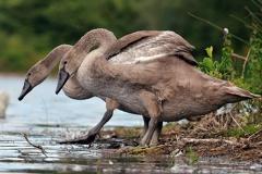 Höckerschwan -- Jungschwäne ca. 3 Monate alt