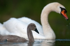 Höckerschwan -- Höckerschwan Dunenküken ca. 4 Wochen alt