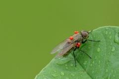 2010 07 18 072206 WBO 9940 5 1000 -- Fliege mit Milben am Körper