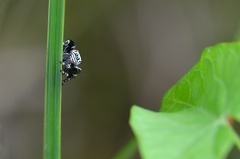 Evarcha arcuata Männchen -- Evarcha arcuata gehört zu den Springspinnen und ist eine meiner Lieblinge, die sind einfach so knuddelig :-) Sie kommt häufig an Gewässern und Feuchgebieten vor Hier ein Männchen