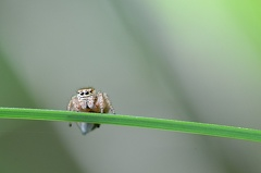 Evarcha arcuata Weibchen -- Evarcha arcuata Weibchen