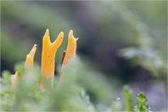 Klebriger Hörnling (Calocera viscosa) -- Klebriger Hörnling (Calocera viscosa)