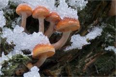 Stockschwämmchen (Kuehneromyces mutabilis) -- Stockschwämmchen (Kuehneromyces mutabilis)