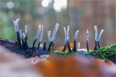 Geweihförmige Holzkeule (Xylaria hypoxylon) -- Geweihförmige Holzkeule (Xylaria hypoxylon)