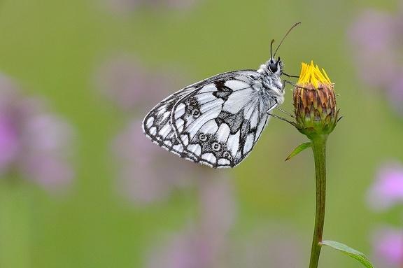 Schachbrett (Melanargia galathea)