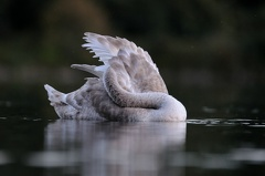 Höckerschwan -- Jungschwan ca. 4 Monate alt