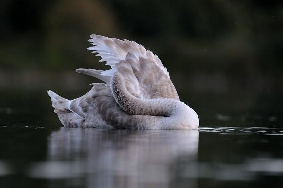 Jungschwan ca. 4 Monate alt