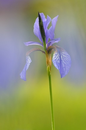 Sibirische Iris (Iris sibirica)