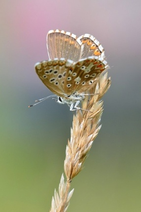 Himmelblauer Bläuling (Weibchen)