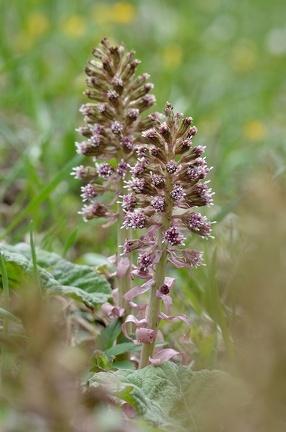 Blüte einer Pestwurz in den Donauauen