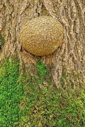 Tumor an einer Esche