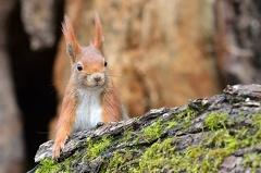 Eichhörnchen -- Eichhörnchen (Sciurus vulgaris)