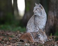 Luchs -- Luchse im Wildpark Poing