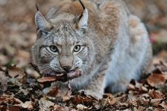 Luchs -- Luchs im Wildpark Poing
