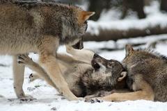 Wölfe  -- Wölfe im Wildpark Poing