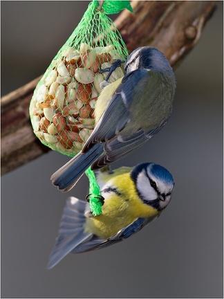 Blaumeise (Cyanistes caeruleus) Nüsse. Sehr beliebt.