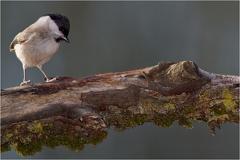 Sumpfmeise (Poecile palustris) -- Sumpfmeise (Poecile palustris)