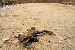 2013 04 14 094230 DSCN0280 1 1000 -- So manch eine Kröte schafft es dann doch nicht in das Laichgewässer  Leider!