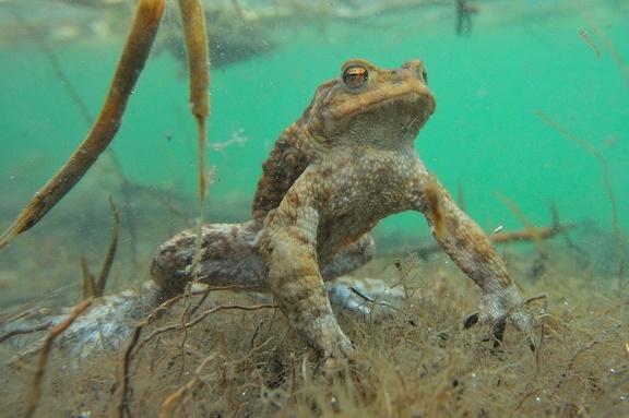 Erdkrötenmännchen Unterwasser auf der Lauer nach Weibchen