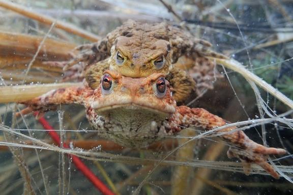 Erdkröten beim Ablaichen im Gewirr von Pflanzen