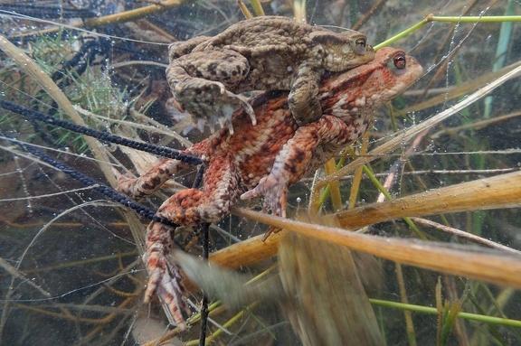 Erdkröten beim Ablaichen