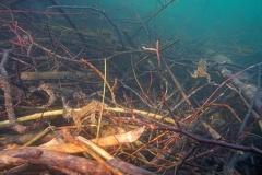 2013 04 15 170153 DSCN0429 1 1000 -- Erdkrötenmännchen Unterwasser auf der Lauer nach Weibchen Das viele Geäst stammt von einem Biberbau