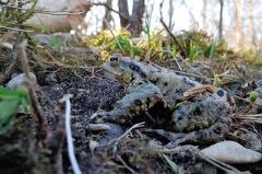2013 04 15 170439 DSCN0433 2 1000 -- Einige der Kröten konnte man auch an Land antreffen