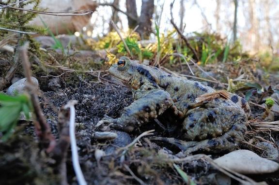 Einige der Kröten konnte man auch an Land antreffen
