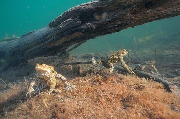 Zahlreiche Erdkrötenmännchen halten Unterwasser Ausschau nach Weibchen