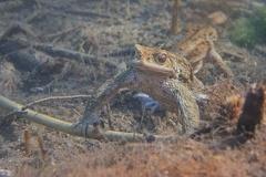 2013 04 15 171257 DSCN0451 8 1000 -- Erdkrötenmännchen Unterwasser auf der Lauer nach Weibchen