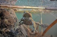 2013 04 15 173447 DSCN0484 11 1000 -- Erdkrötenmännchen Unterwasser auf der Lauer nach Weibchen
