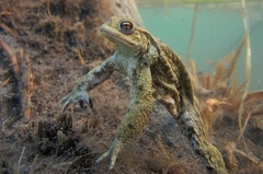2013 04 15 173452 DSCN0485 12 1000 -- Erdkrötenmännchen Unterwasser auf der Lauer nach Weibchen