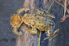 2013 04 15 173929 DSCN0497 13 1000 -- Kröte küsst Kröte,oder Jeder ist verdächtig ein Weibchen zu sein