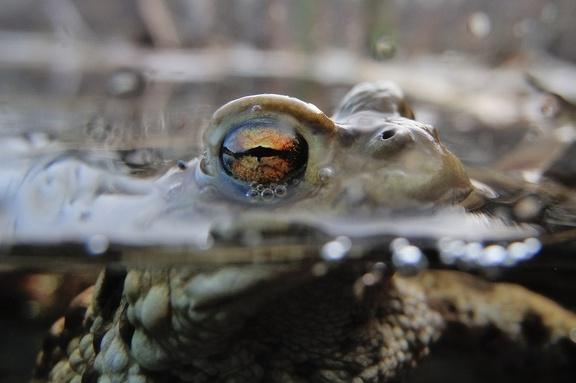 Mit der Coolpix im Glasbecken geht es hautnah an ein Erdkrötenmännchen