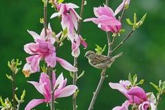 Sperling -- Sperling Weibchen