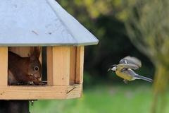Eichhörnchen besetzt Futterhaus -- Nur die Meisen fliegen trotz Eichhörnchen das Häuschen an