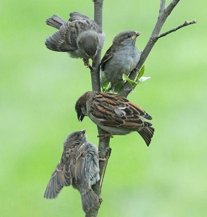 Sperlingsfamilie bei der Fütterung